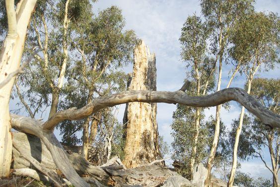 Wanniassa dead tree