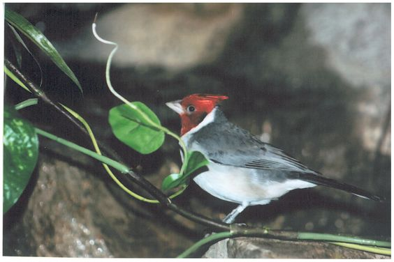Red-Crested Cardinal at the Akron Zoo