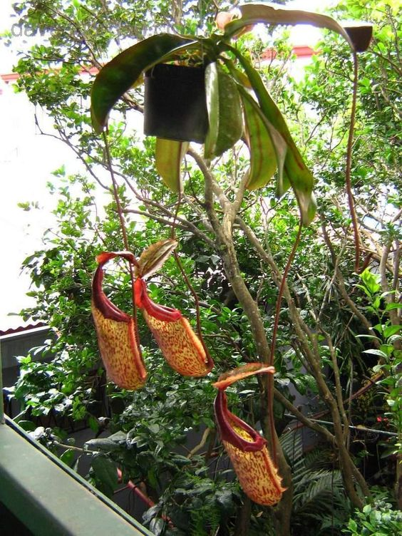 Pitcher Plant 'Miranda' Nepenthes