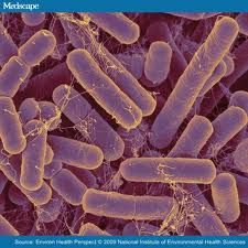 Bacteroides are among the most common bacteria found in the gut.