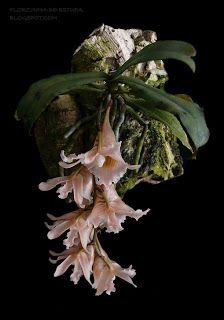 Florzinha de estufa: Eurychone galeandrae