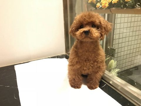 Poodle Toy Puppy For Sale In San Jose Ca Adn 70446 On