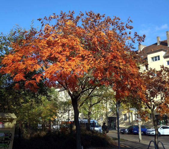 Die Blasenesche (Koelreuteria paniculata) ist ein malerischer Kleinbaum mit gefiedertem Laub, schöner Herbstfärbung und interessanten Fruchtständen.