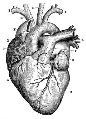 Antique medical scientific illustration high-resolution: heart ...