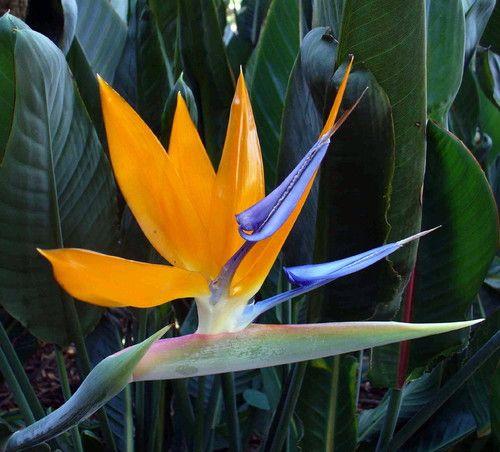 Mandelas Gold Bird Of Paradise 10 Seeds Strelitzia Elegant Rare Birds Of Paradise Plant Paradise Plant Birds Of Paradise Flower