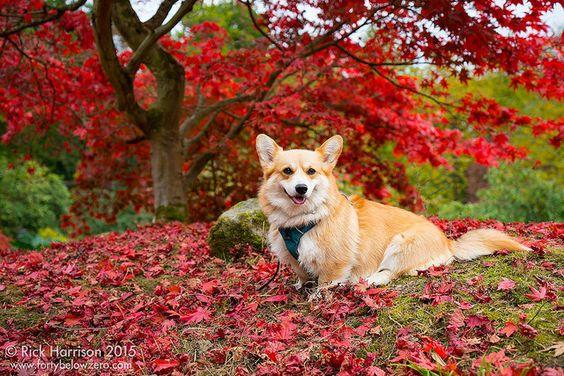 Autumnal Corgi! | by tricky (rick harrison)