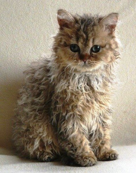 LAPERM : The LaPerm is a recognized breed of cat. A LaPerm's fur is curly... https://en.wikipedia.org/wiki/LaPerm
