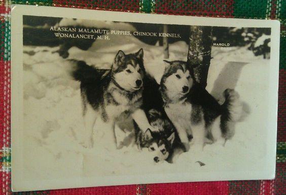 1941 Alaskan Malamute Puppies Dogs Wonalancet NH Kennels Photo Postcard