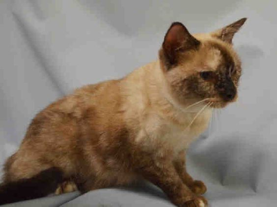GODIVA - ID#A1089359 I am a spayed female, seal point Domestic Shorthair mix. The shelter staff think I am about 9 years old. I weigh 10 pounds. I was found in NY 10475. I have been at the shelter since Sep 10, 2016. This information is less than 1 hour old.