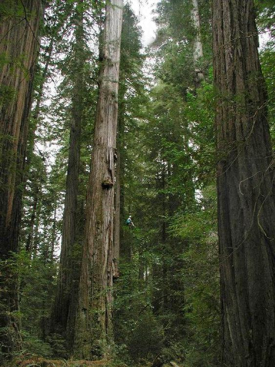 Hyperion, world's tallest living tree (379.7'), is a coast redwood in Redwoods NP,  CA