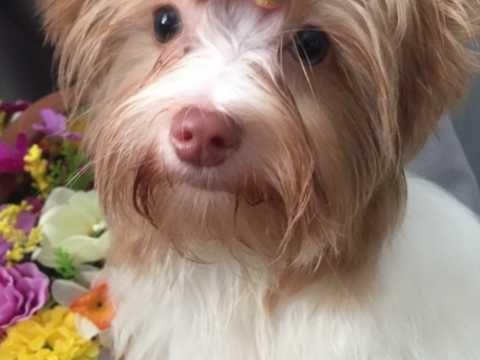 Yorkshire Terrier Biewer Yorkshire Terrier Toy Dog Breeds Dog Breeder
