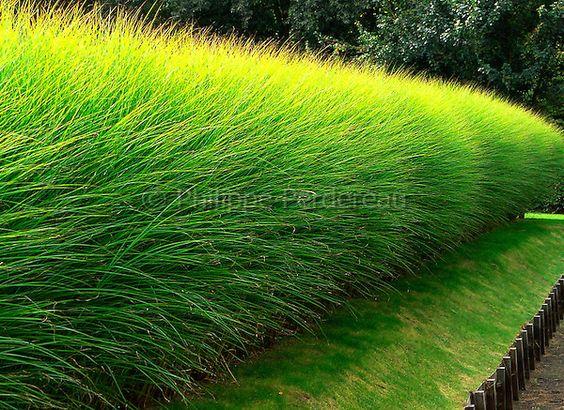 Haie de miscanthus sinensis 39 gracillimus 39 en t - Bambou non tracant a croissance rapide ...
