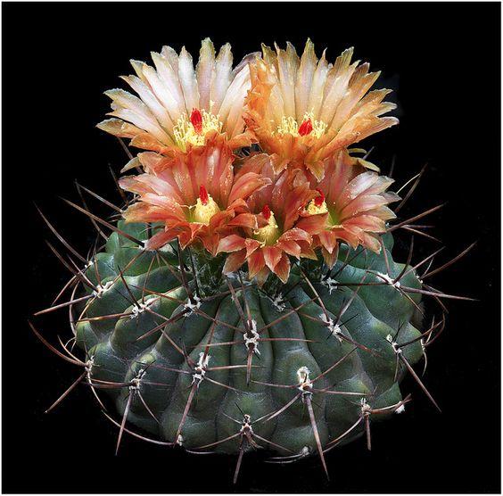Eriosyce setosiflora