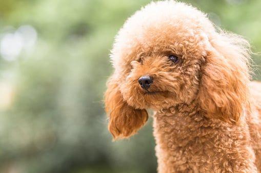 Pin En Razas De Perros Pequeños De Pelo Largo
