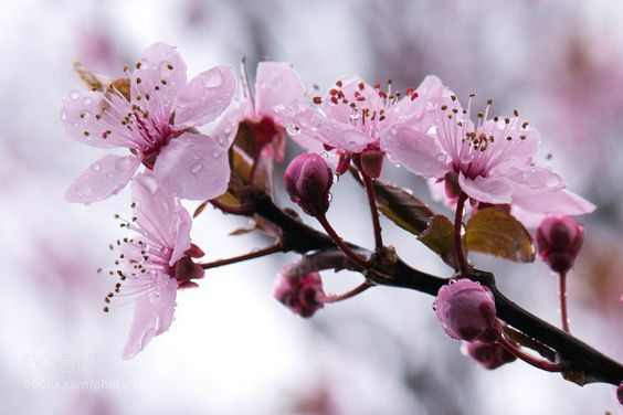 Cherry blossoms. by kathinkathecat. @go4fotos
