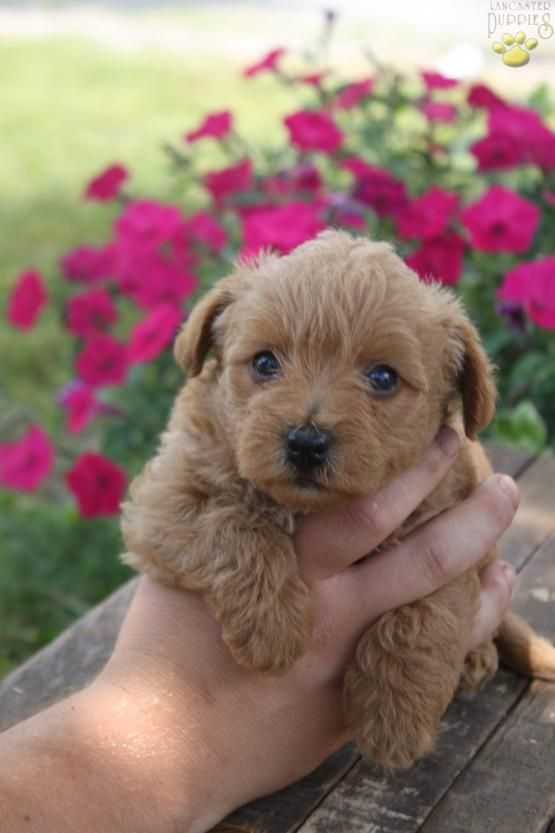 Bri Poodle Mix Puppy For Sale In Port Royal Pa