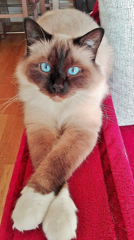 Cool Siamese Gatos