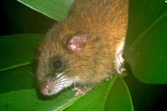 Encontrado apenas na Mata Atlântica, o rato-do-mato (Drymoreomys albimaculatus) foi conceituado apenas em 2011. É o único membro de seu gênero e ainda tem que ser avaliado pela Lista Vermelha da IUCN. Foto: Thomas Püttker.