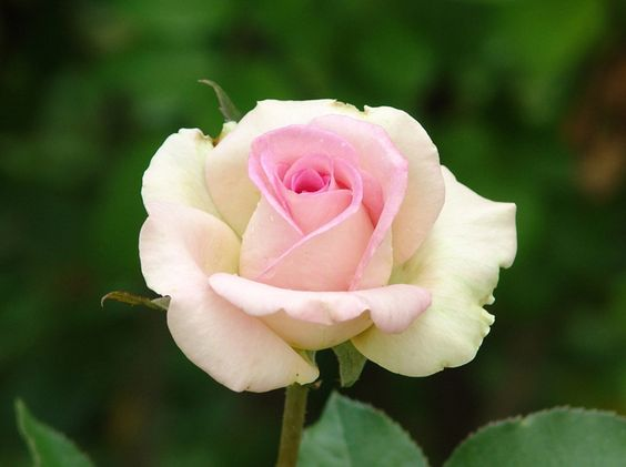 Bud The High And Roses On Pinterest