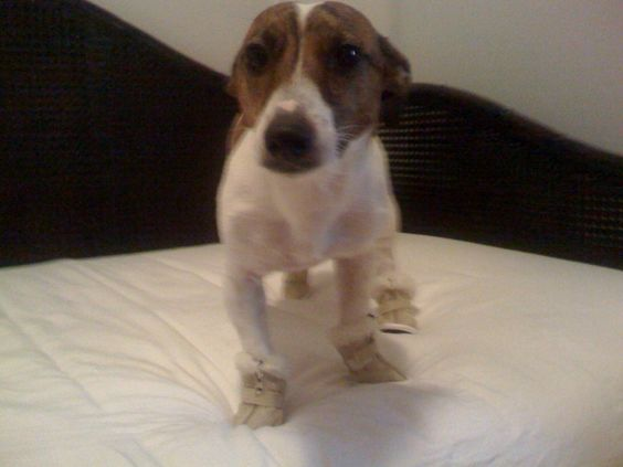 Jack Russell with winter boots on!