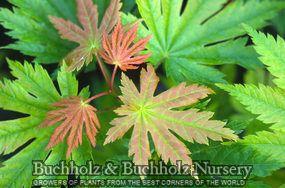 Acer Japonicum 'O taki' 10' tall zone 5