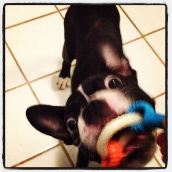 Play time with Minnie...boston terrier
