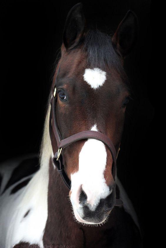 Horses - Shiloh is a tobiano paint Quarter horse.