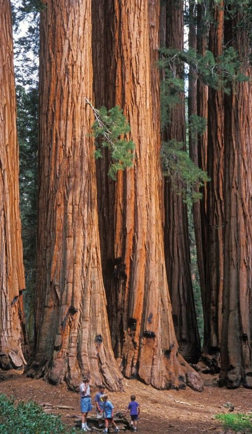 Très Giant sequoias tower above tourists at Sequoia National Park in  FK87
