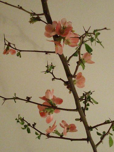 Une branche fleurie by KatJaTo, via Flickr