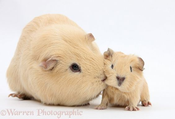 mother and baby Guinea pigs @Ashlee Outsen Outsen Outsen Allen