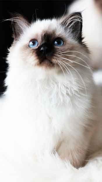 Ragdoll Cat Ragdoll Cat Cat Spray Ragdoll