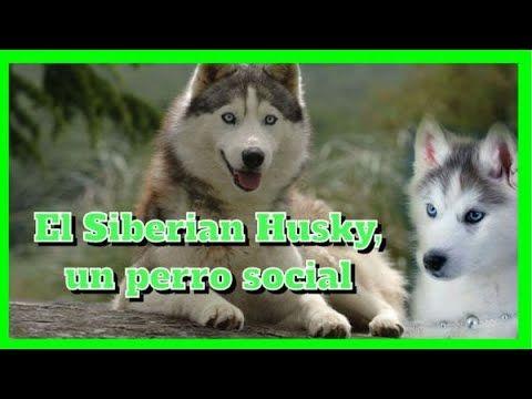 El Siberian Husky Un Perro Social Perros Perro Siberiano Husky