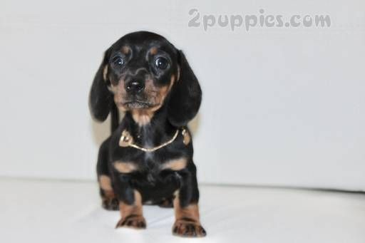 Find Your Dream Puppy Of The Right Dog Breed At Dachshund Puppies Dachshund Puppies For Sale Puppies For Sale