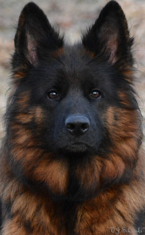 Pin By Sarah Chatham On Dogs German Shepherd Dogs Long Coat German Shepherd Dogs