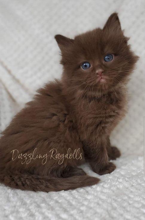 Chocolate Solid Ragdoll Kitten Adoption Kitten Breeds Ragdoll Kitten