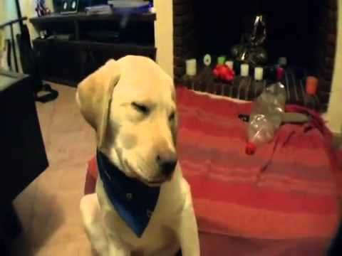 Dog Falling Asleep Doesn't Want To Lie Down. So cute and hilarious! #funnydogs #dogs #sleepydogs