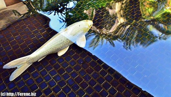 white koi fish | besides the striking cold look of the white koi fish what works for me ...