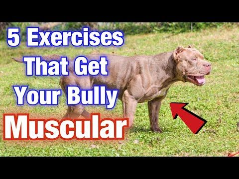 5 American Bully Exercise Muscle Training Tips That Will Get Your