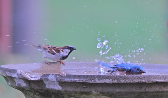 SPLASHED SPARROW Since I filled the bird bath last night there has been a steady stream of birds getting a drink or bath. The bluebird was bathing when the sparrow came for a drink--and got a shower. Did you click? (4/10/13 Peace Valley, Missouri)
