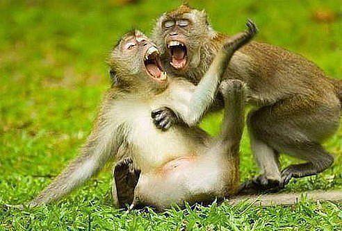 Two Singing Monkey
