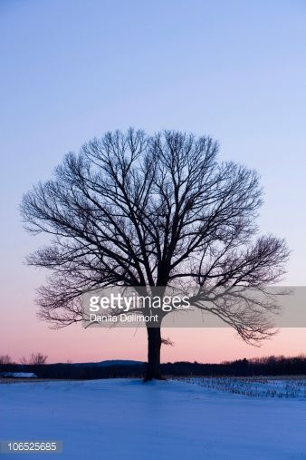 Stock Photo : Bare branches of maple tree in winter silhouetted against dawn sky on farm, Hadley, Masaschusetts, USA