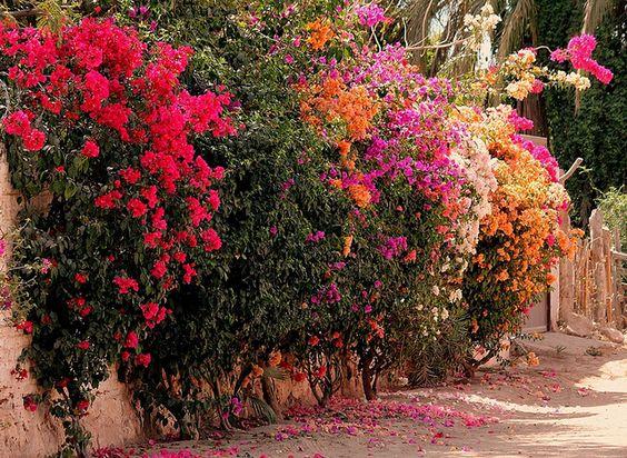 La calle de las bugambilias diferentes colores de for Diferentes jardines