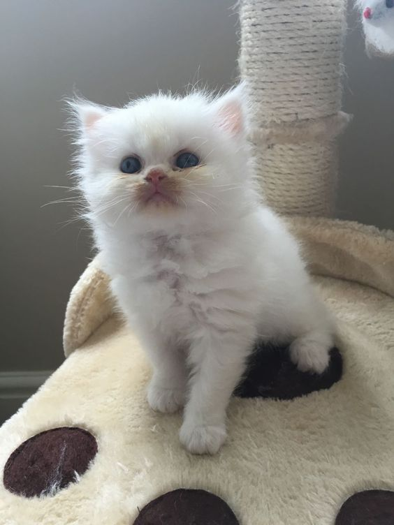 Gorgeous Persian kittens for sale | London, South West London | Pets4Homes