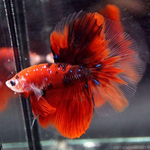 Live Betta Fish Fancy Super Red Koi Galaxy Halfmoon Hm Male 239 Betta Fish Betta Koi Betta