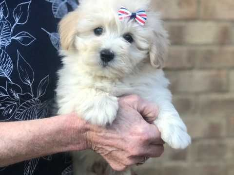 Adorable Cotonoodle Puppies Wisbech Cambridgeshire Pets4homes Puppies Cute Dogs Adorable