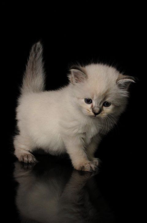 Cats And Kittens For Sale Rotherham Cats And Kittens Brisbane Siberian Kittens Kittens Cutest Siberian Kittens For Sale