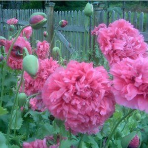 Peony poppies.  Love these in old gardens!