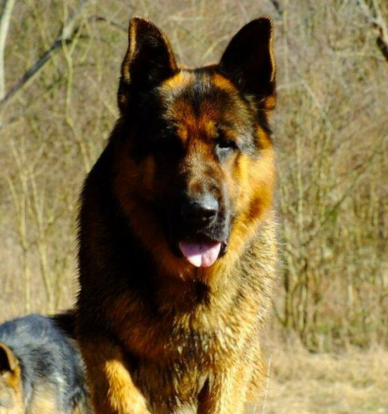 Extra Large German Shepherd Puppies For Sale Ayers Legends German Shepherds Large German Shepherd Black German Shepherd Dog Black German Shepherd