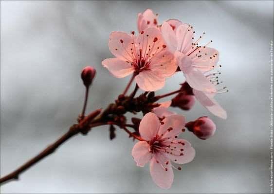 Pin By Mona Moni On Fotografi Cherry Blossom Art Beautiful Flowers Blossom Tattoo
