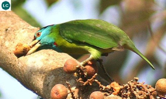 https://www.facebook.com/THI%C3%8AN-NHI%C3%8AN-K%E1%BB%B2-TH%C3%9A-171150349611448/timeline/?ref=hl Cu rốc họng lam; Họ Megalaimidae; tiểu lục địa Ấn Độ và Đông Nam Á | Blue-throated barbet (Megalaima asiatica) IUCN Red List of Threatened Species 3.1 : Least Concern (LC)(Loài ít quan tâm)